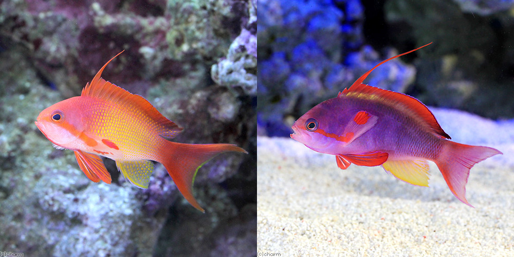 These aquarium specimens really emphasize the differences. Left: P. squamipinnis (Kenya) Right: P. cf cheirospilos (Fiji) Credit: Charm
