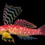 Synchiropus sycorax, the Ruby Red Dragonet Gets Named
