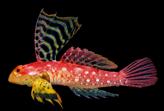Ruby Red Dragonet Synchiropus sycorax. Credit: LemonTYK / Tea & Gill 2016