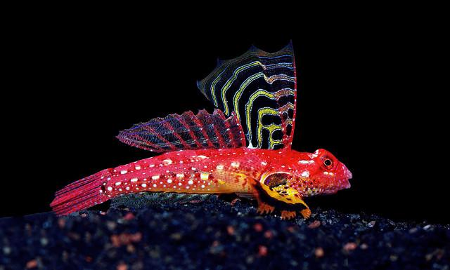 Ruby Red Dragonet Synchiropus sycorax. Credit: LemonTYK
