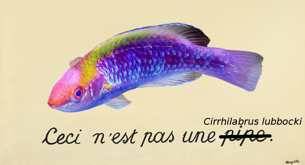 this-is-not-a-lubbocks-wrasse