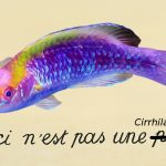 The Other Lubbock's Fairy Wrasse…