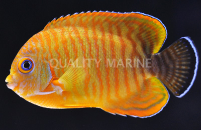 Tigerpyge Angelfish (C. eibli X C. vrolikii). Credit: Quality Marine
