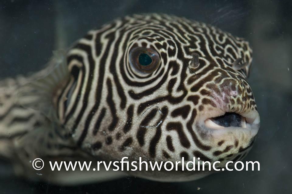 Arothron multilineatus. Credit: Barnett Shutman / RVS Fishworld