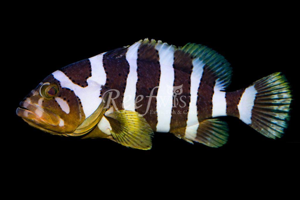 Epinephelus amblycephalus. Credit: Reefwise