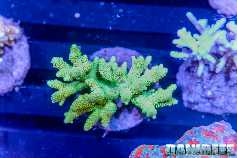 201610-acropora-coralli-petsfestival-reef-joker-sps-60-copyright-by-danireef