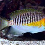 Fishy Stuff: Reef Safe Angelfish – Japanese Masked Swallowtail Angelfish