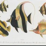 Sumptuous 19th Century Fish Illustrations From Pieter Bleeker