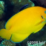The Cocopeel Angelfish Inspires A Good, Old-Fashioned Taxonomy Fight!