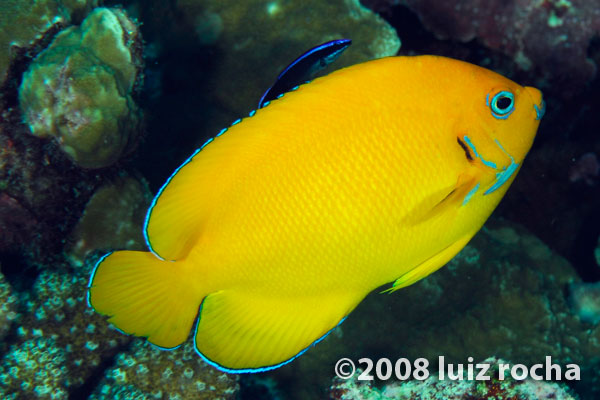 """Centropyge cocosensis"", from Christmas Island. Credit: Luiz Rocha"