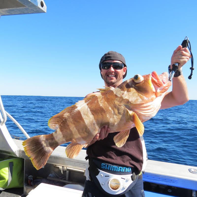 Large specimen from Coral Bay, Western Australia. This specimen is clearly suffering from barotrauma. Credit: dan1 / fishwrecked.com
