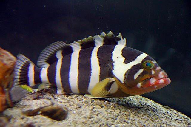 E. amblycephalus at the Shirahama Aquarium. Credit: Mistral Aquarium