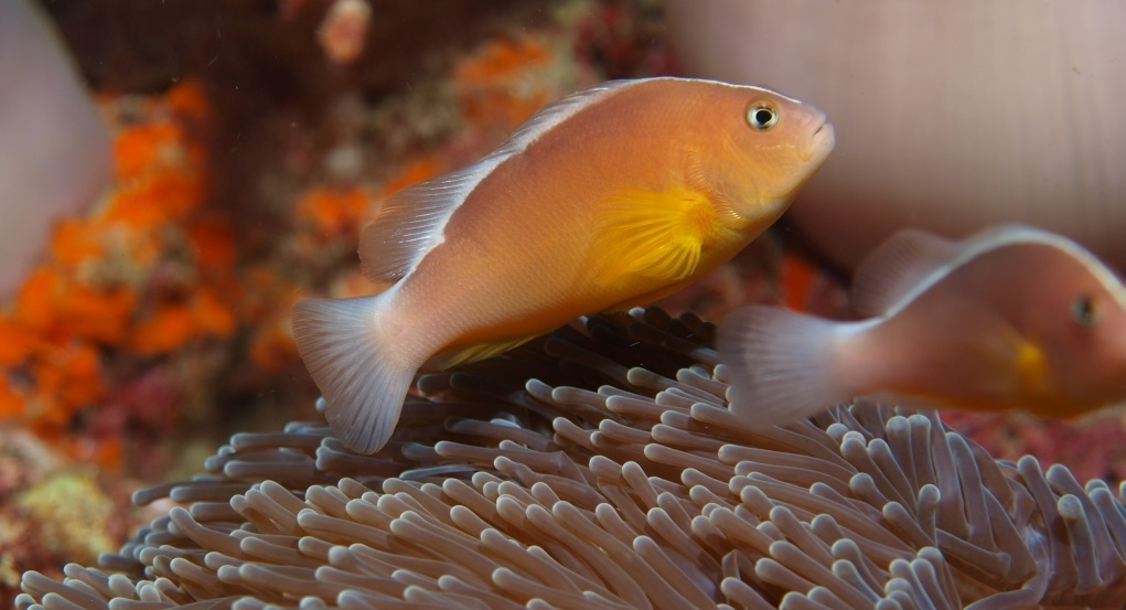 A. akallopisos in the Andaman Sea. Credit: dive to blue