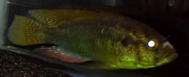 Astatoreochromis allaudi