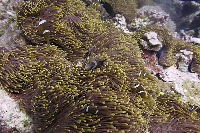 A. chagosensis, from Chagos Archipelago. Credit: Khaled bin Sultan Living Oceans Foundation