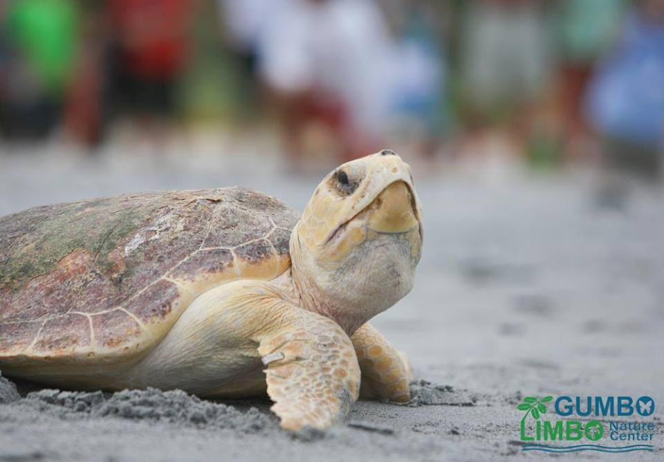 gumbo-limbo-nature-center-sea-turtle-reefs
