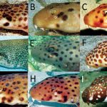 On The Origin Of Epaulette Sharks
