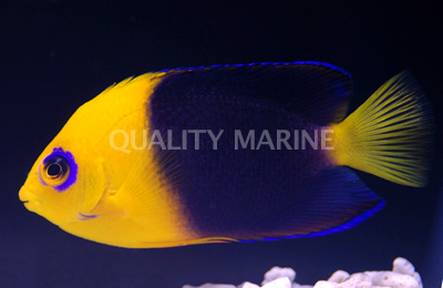 Centropyge joculator, the only other angelfish known only from Coco-Keeling and Christmas Islands. Credit: Quality Marine