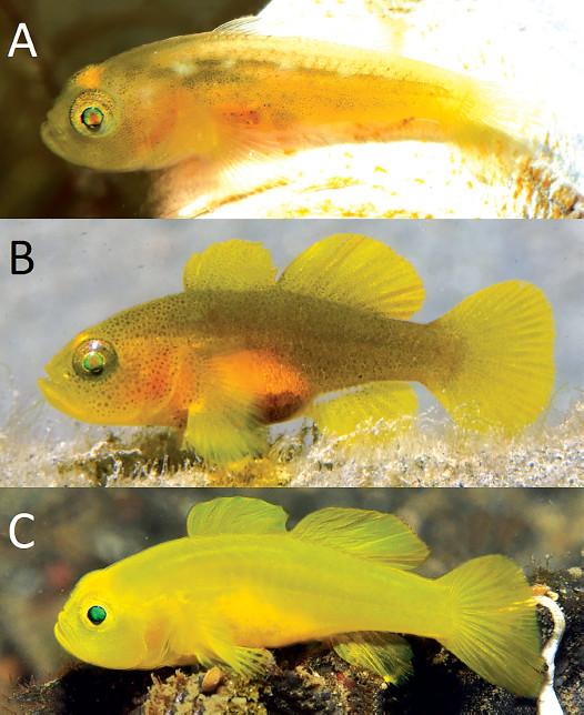 A) L. tunicatus B) L. nanus C) L. exiguus Credit: Gerry Allen / Allen & Erdmann 2016