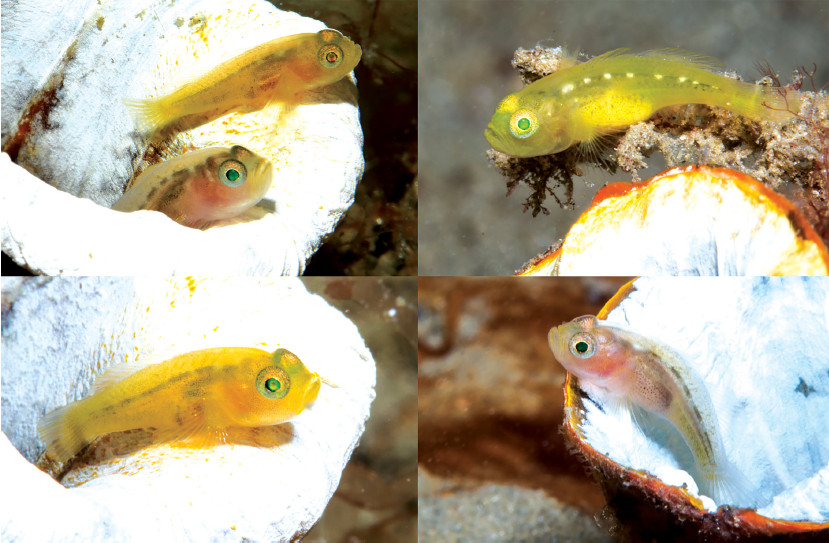 Newly Described Tunicate Goby Clearly Loves Tunicates | Reefs.com