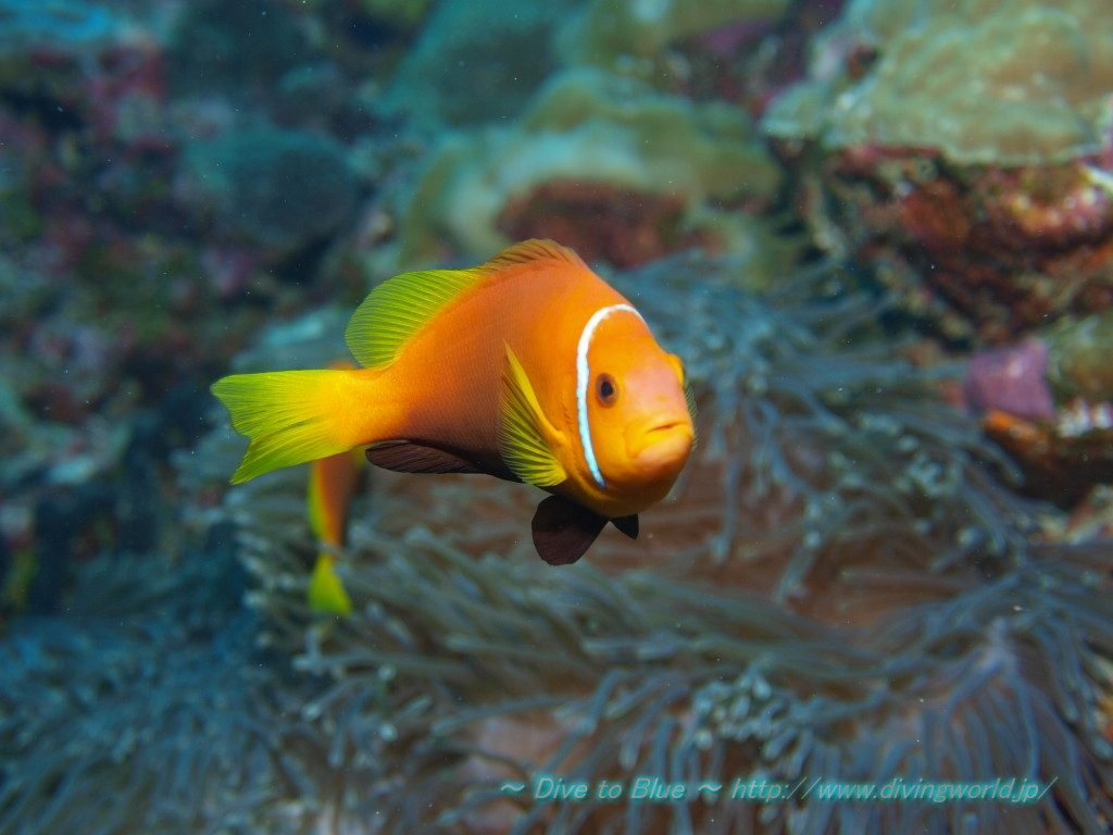 A. nigripes, from Maldives. Credit: dive to blue