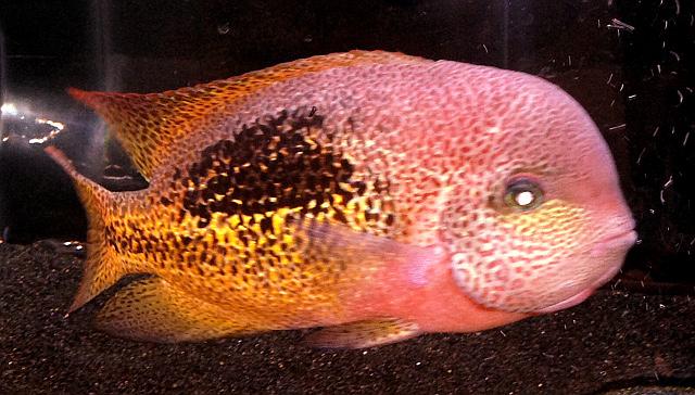 aquatic experience 2016 rare cichlids reefscom
