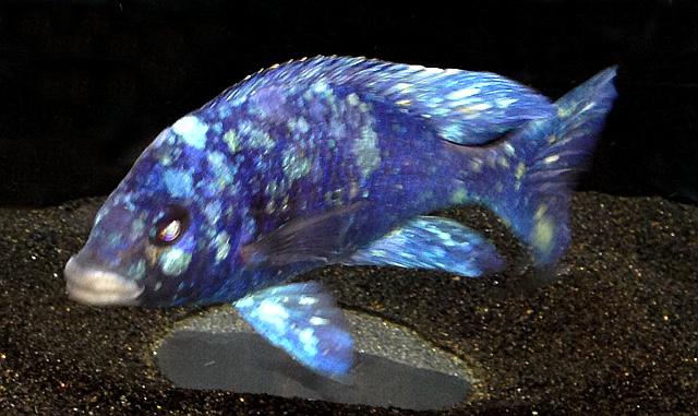 "Placidochromis sp ""Star Sapphire"""