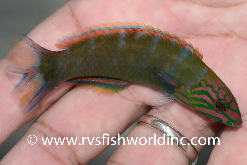 Twintail mutation in Thalassoma lunare. Credit: Barnett Shutman / RVS Fishworld