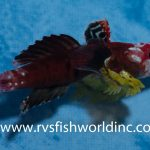 This Bizarre Ruby Dragonet Might Be A True Hermaphrodite