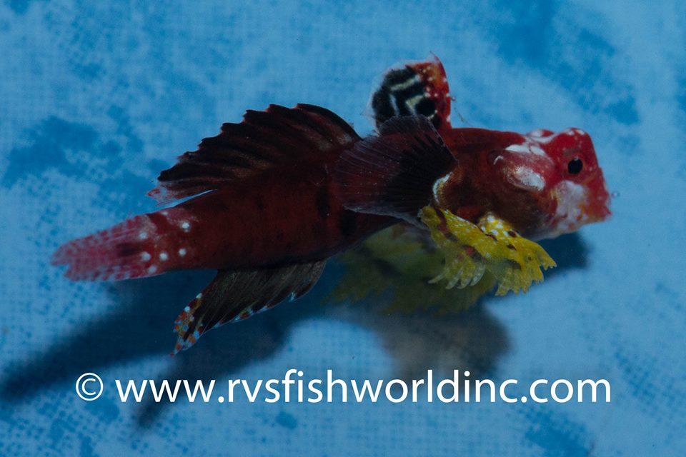 Credit: Bernett Shutman / RVS Fishworld
