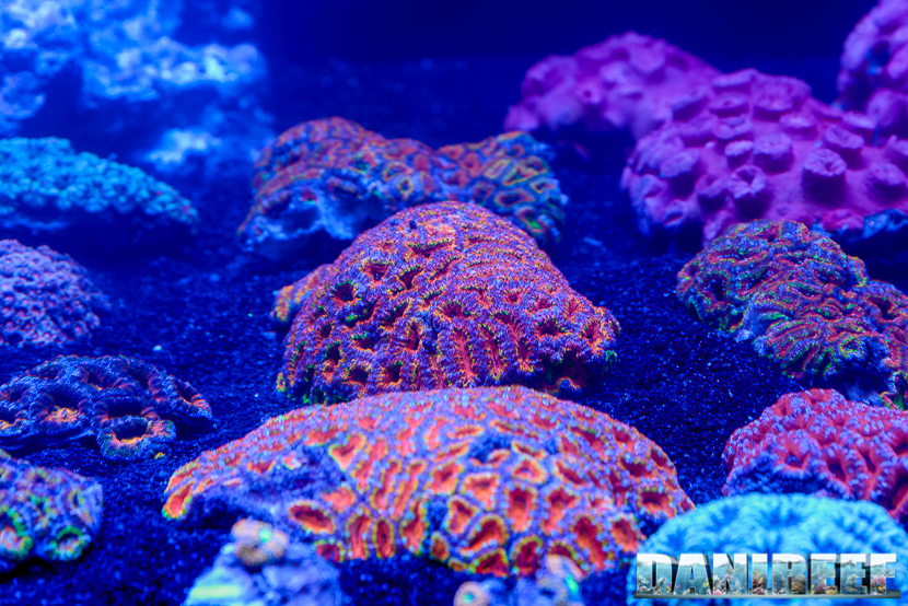 201610-acanthastrea-barriera-corallina-coralli-lps-micromussa-petsfestival-132-copyright-by-danireef