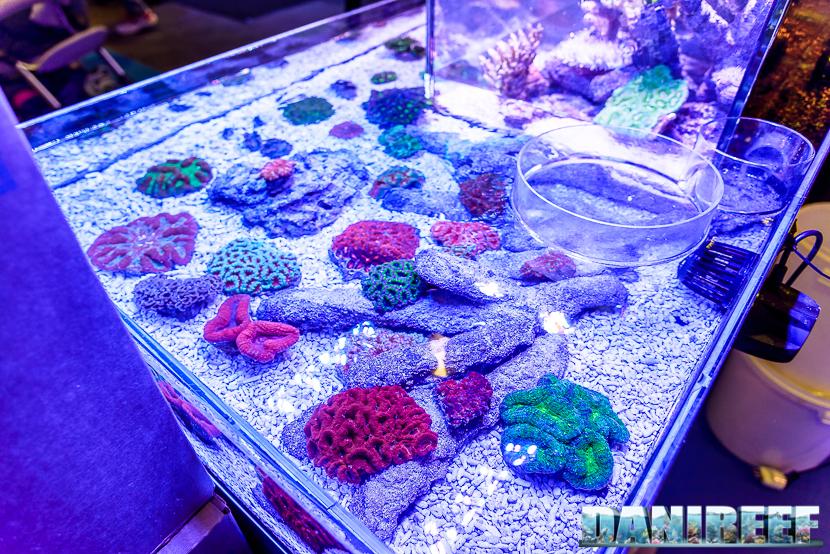 201610-acanthastrea-coralli-hobby-acquari-lobophyllia-lps-micromussa-petsfestival-reefline-trachyphyllia-69-copyright-by-danireef