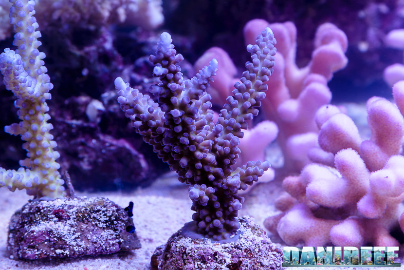 201610-acropora-barriera-corallina-coralli-petsfestival-sps-135-copyright-by-danireef