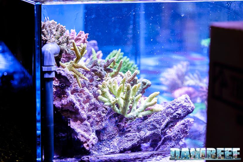 201610-acropora-coralli-hobby-acquari-petsfestival-reefline-sps-258-copyright-by-danireef