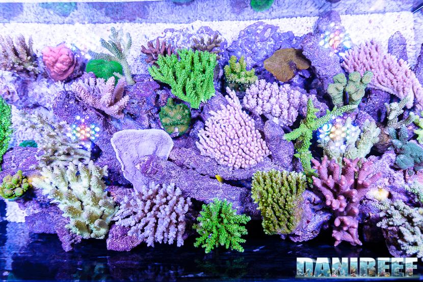 201610-acropora-coralli-hobby-acquari-petsfestival-reefline-sps-259-copyright-by-danireef