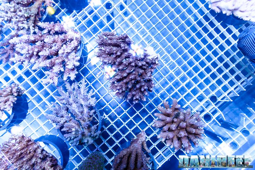 201610-acropora-coralli-ondanomala-petsfestival-sps-156-copyright-by-danireef