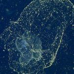 'Mythical' Sea Blob Finally Spotted a Century After Its Discovery