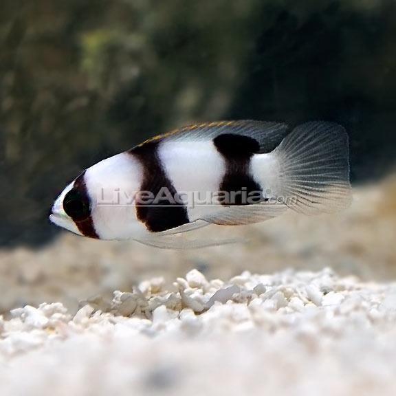 Aquarium specimens are typically the Hourglass Basslet L. levinsoni. Credit: LiveAquaria