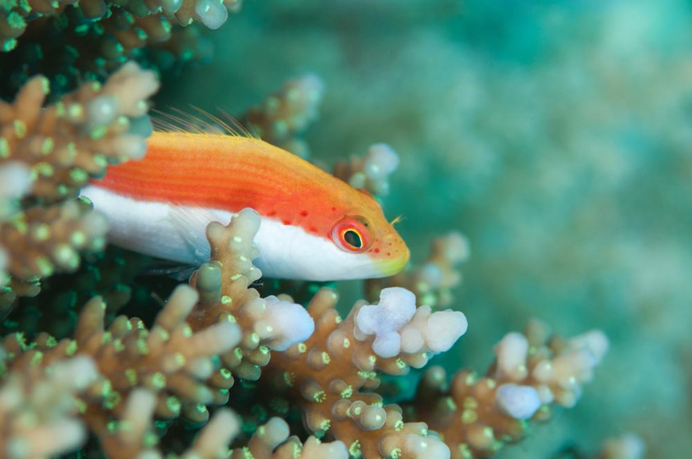 juvenile freckled hawkfish