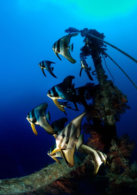 shipwreck reef batfish