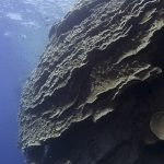 A Very, Very Large Coral
