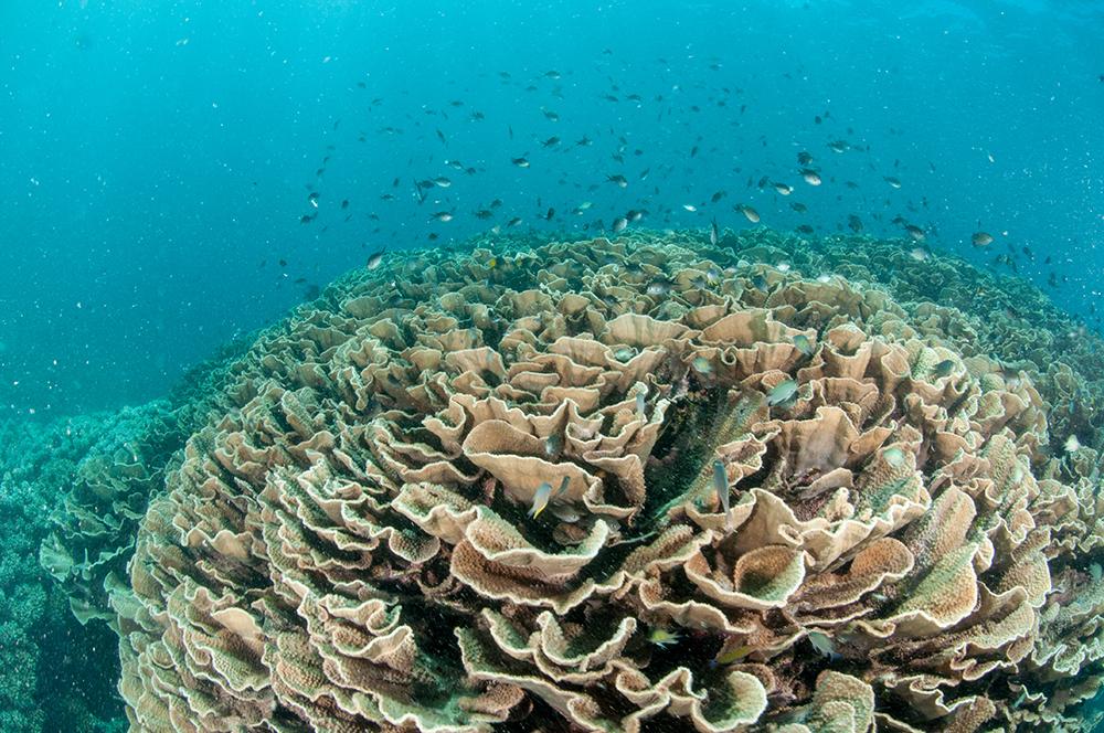 cabbage coral fiji