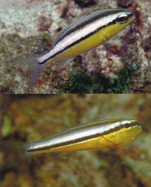 Scolopsis margaritifera (top) & Cheilodipterus zonatus (bottom). Credit: Gerry Allen / Fishbase