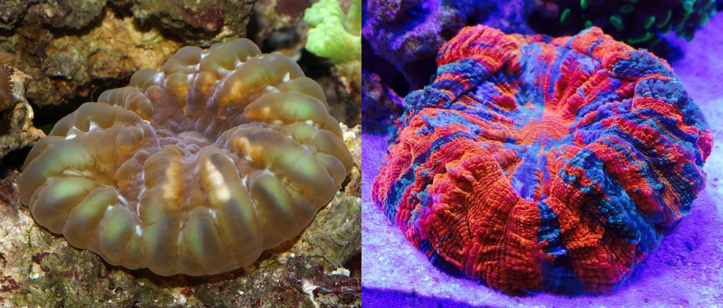 These are supposely both Cynarina lacrymalis, but... c'mon. Credit: Shadowshador & Jay Wee