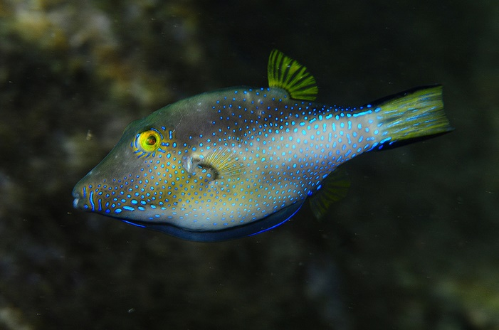An excited specimen of the Macronesian Sharpnose Pufferfish (C. capistrata). Note the blue spots of the caudal peduncle, which are striated in C. rostrata and C. supramacula. Credit: Sirgfreid