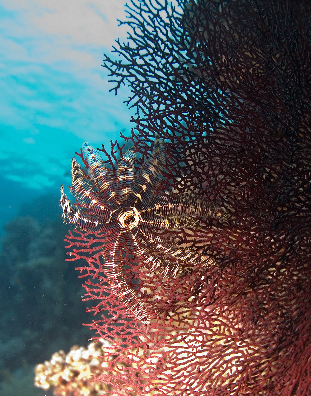 feather star red fan coral