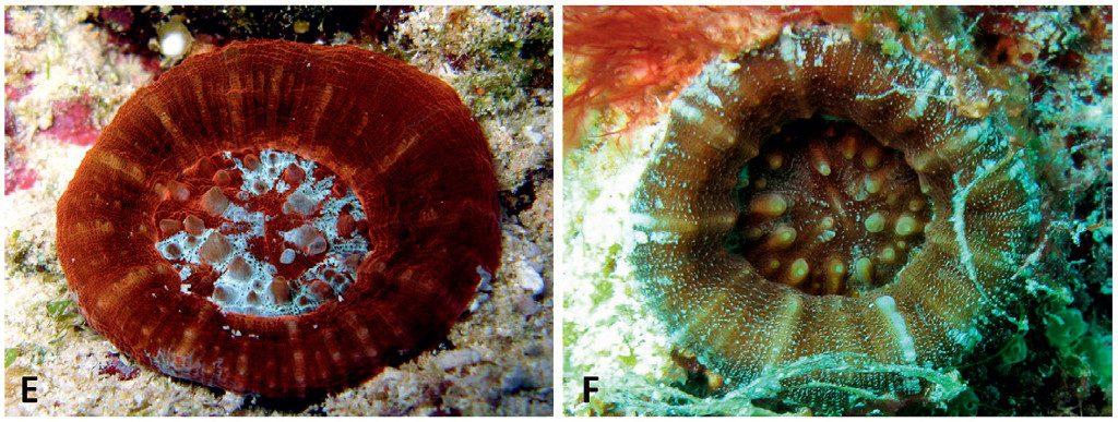 Homophyllia australis, the true Scoly. Credit: Arrigoni et al 2016