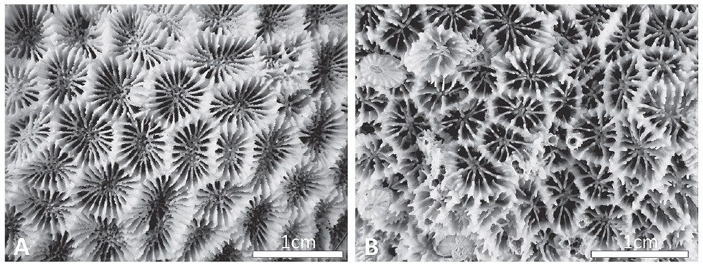 SEM images of Micromussa amakusensis (left) and M. indiana (right). Credit: Arrigoni et al 2016