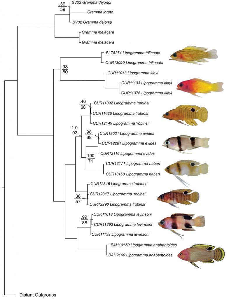 Molecular phylogeny of Lipogramma. Credit: Baldwin et al 2016