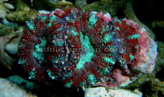This polystomatous colony from Bali shows one of the nicer looking variations seen in Micromussa pacifica. It had been misidentified as Acanthastrea maxima. Credit: Eddie's Coral Adventures